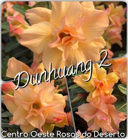 Rosa do Deserto Muda de Enxerto - Dunhuang 2 - Flor Tripla - Cuia 21