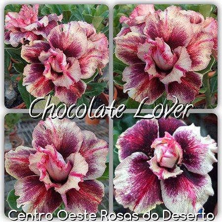 Muda de Enxerto - Chocolate Lover - Flor Roxa Matizada - Cuia 21 (com 2 a 3 enxertos) IMPORTADA