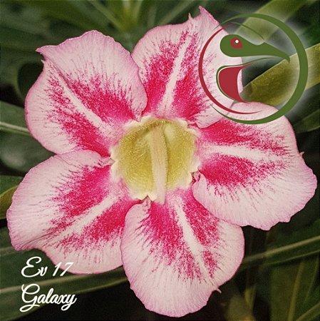 Muda de Enxerto - EV-017 - Galaxy - Flor Simples