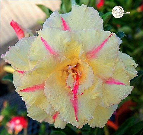 Semente Mr-KO 117 - Kit com 5 sementes Flor Dobrada