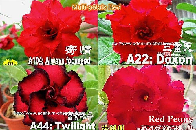 Semente Multi-petals VERMELHO mixed - Kit com 10 sementes