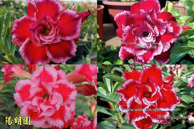 Semente Multi-petals MIRACLE mixed - Kit com 10 sementes