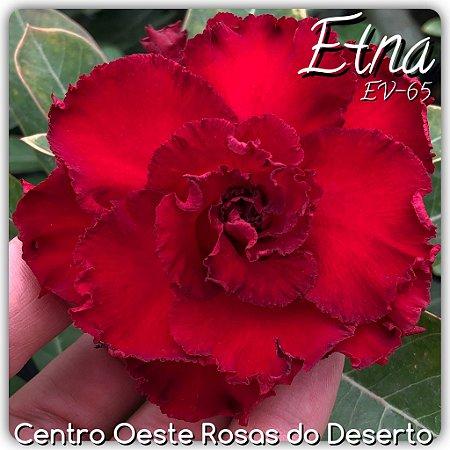 Rosa do Deserto Muda de Enxerto - EV-065 - Etna - Flor Tripla