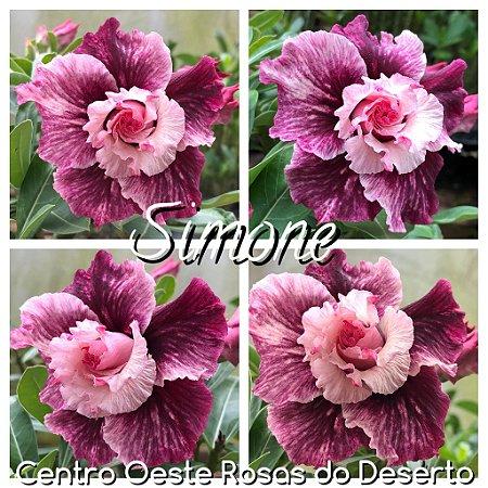 Muda de Enxerto - Simone - Flor Tripla Roxa e Branca Mesclada  - Cuia 21 (com 2 a 3 enxertos) - IMPORTADA