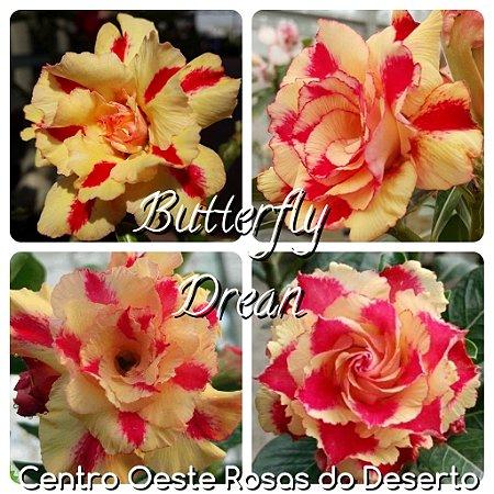 Muda de Enxerto - Butterfly Dream - Flor Tripla Amarela mesclada - IMPORTADA