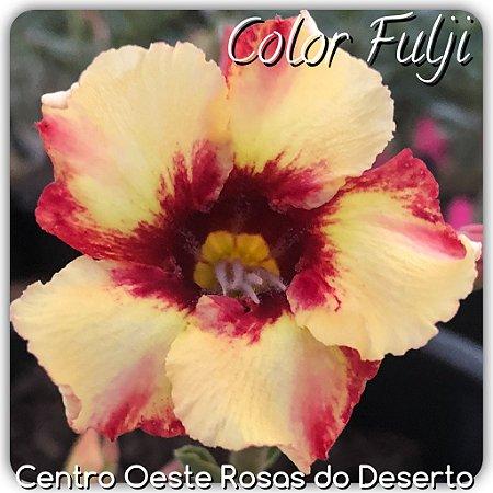 Rosa do Deserto Muda de Enxerto - Color Fulji - Flor Simples