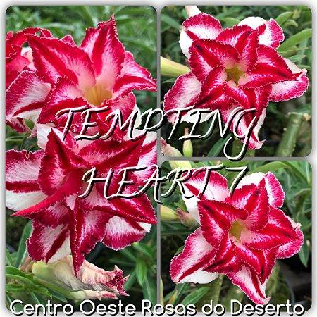 Rosa do Deserto Muda de Enxerto - Tempting Heart VII (TH-7) - Flor Tripla Branca Matizada