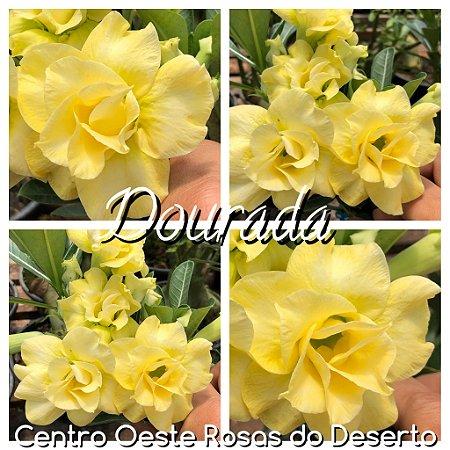 Rosa do Deserto Muda de Enxerto - Dourada - Flor Dobrada  - Cuia 21