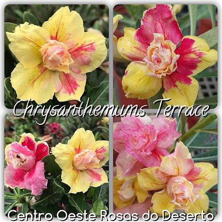 Rosa do Deserto Muda de Enxerto - Chrysanthemuns Terrace (RC93) - Flor Tripla - Cuia 21 (com 2 a 3 enxertos)