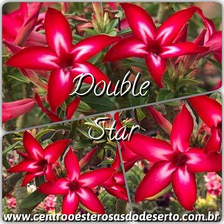 Muda de Enxerto - Double Star - Flor Simples Vermelha com Branco - Cuia 21 (com 2 a 3 enxertos) IMPORTADA