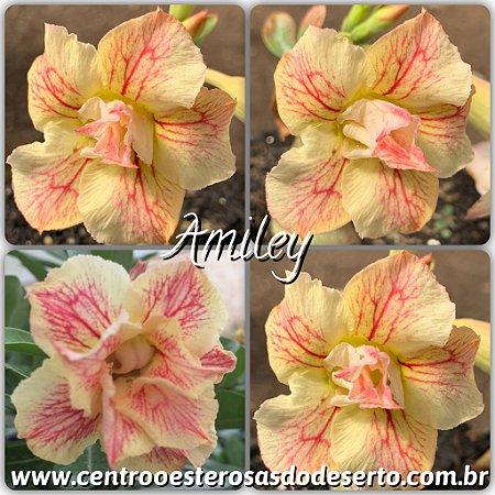 Rosa do Deserto Muda de Enxerto - Amiley - Flor Dobrada