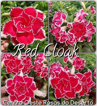 Muda de Enxerto - Red Cloak - Flor Dobrada IMPORTADA