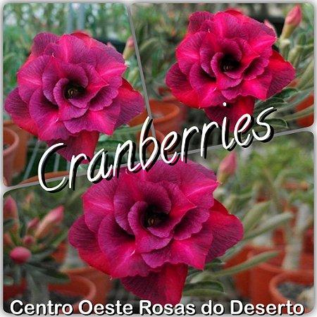 Rosa do Deserto Muda de Enxerto - Cranberries (RC526) - Flor Dobrada