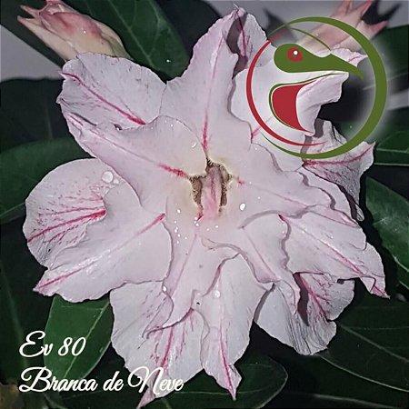 Muda de Enxerto - EV-080 - Branca de Neve - Flor Dobrada