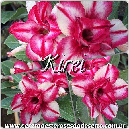 Muda de Enxerto - Kirei - Flor Dobrada