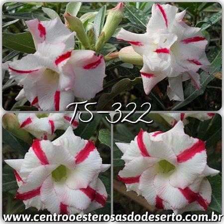 Rosa do Deserto Muda de Enxerto - TS-322 - Dobrada