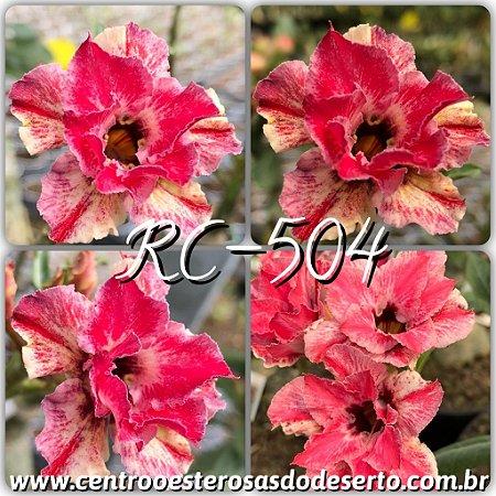 Muda de Enxerto - RC-504 - Flor Dobrada Importada