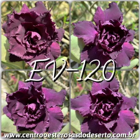 Rosa do Deserto Muda de Enxerto - EV-120 - Flor Tripla