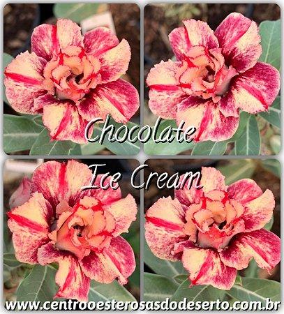 Muda de Enxerto - Chocolate Ice Cream (RC-192) - Flor Dobrada Importada