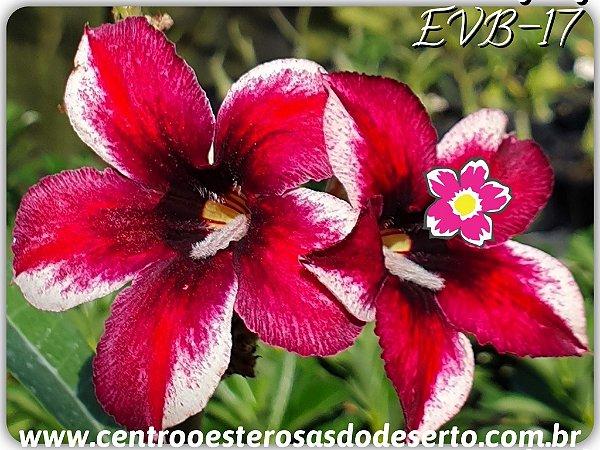 Rosa do Deserto Muda de Enxerto - EVB-017 - Flor Simples