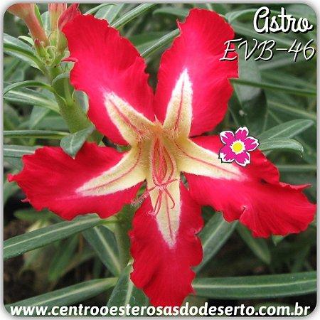 Muda de Enxerto - EVB-046 - ASTRO - Flor Simples