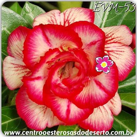 Rosa do Deserto Muda de Enxerto - EVM-053 - Flor Dobrada