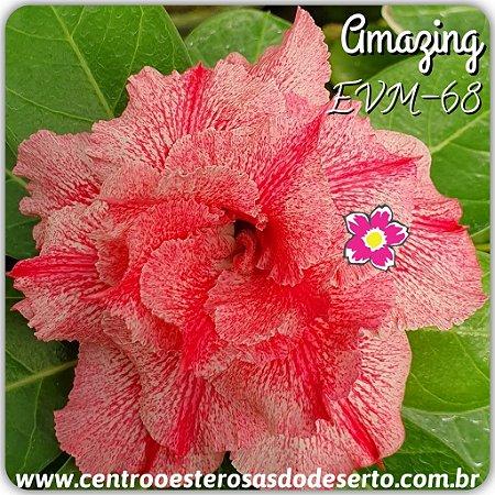 Muda de Enxerto - EVM-068 - AMAZING - Flor Tripla
