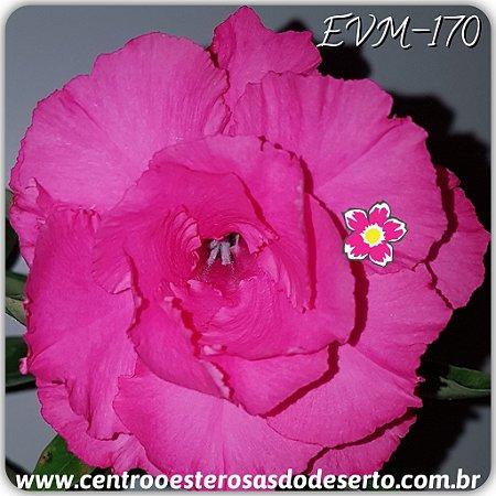Rosa do Deserto Muda de Enxerto - EVM-170 - Flor Tripla