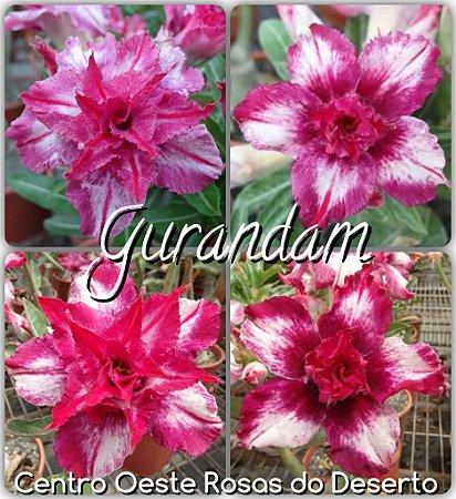 Muda de Enxerto - Gurandam - Flor Dobrada IMPORTADA