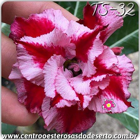 Muda de Enxerto - TS-032 - Flor Dobrada Matizada