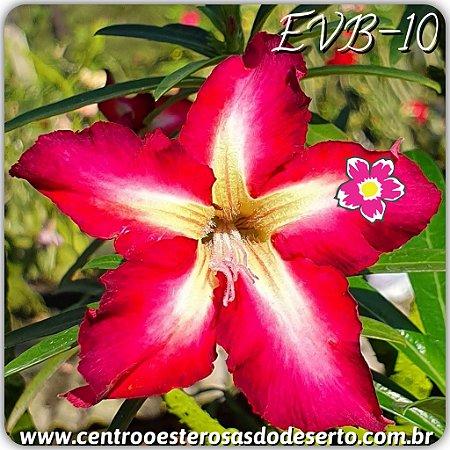 Muda de Enxerto - EVB-010 - Flor Simples