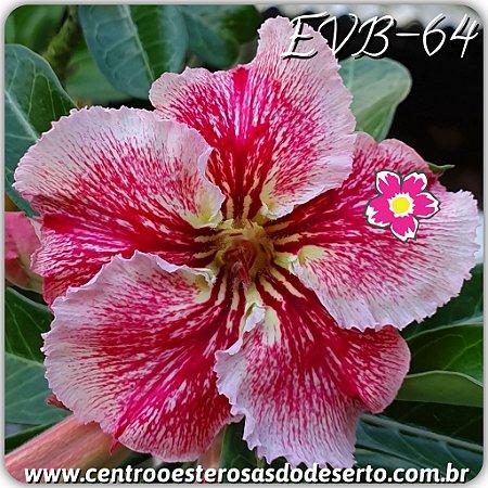 Muda de Enxerto - EVB-064 - Flor Simples