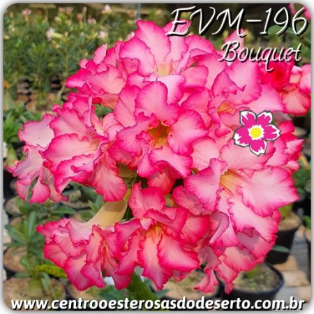 Rosa do Deserto Muda de Enxerto - EVM-196 - Bouquet - Flor Dobrada