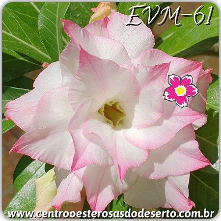 Muda de Enxerto - EVM-061 - Flor Tripla