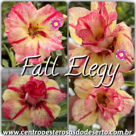 Muda de Enxerto - Fall Elegy - Flor Dobrada - IMPORTADA