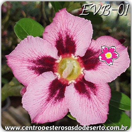 Rosa do Deserto Muda de Enxerto - EVB-001 - Flor Simples