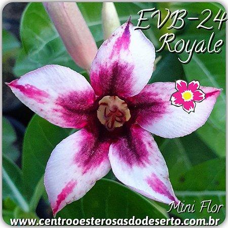 Muda de Enxerto - EVB-024 - Royale - Flor Simples