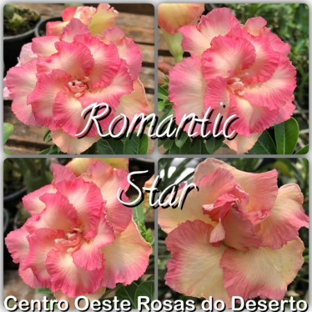 Muda de Enxerto - Romantic Star - Flor Dobrada - IMPORTADA