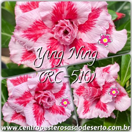Rosa do Deserto Muda de Enxerto - Ying Ning (RC-510) - Flor Tripla