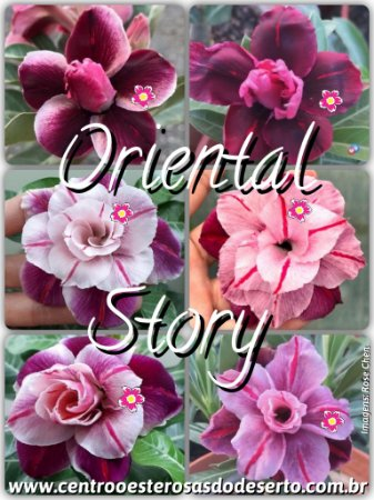 Rosa do Deserto Muda de Enxerto - Oriental Story - Flor Tripla