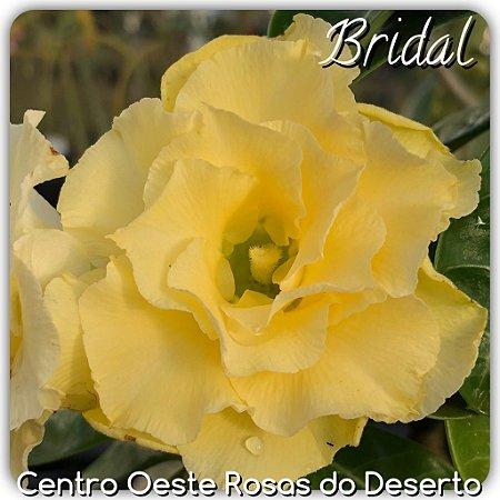Rosa do Deserto Muda de Enxerto - Bridal Bouquet - Cuia 21