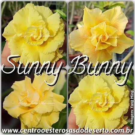 Muda de Enxerto - Sunny Bunny - Flor Tripla Importada