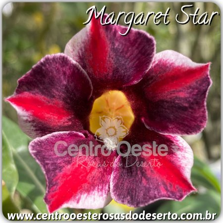 Rosa do Deserto Muda de Enxerto - Margaret Star - Flor Simples