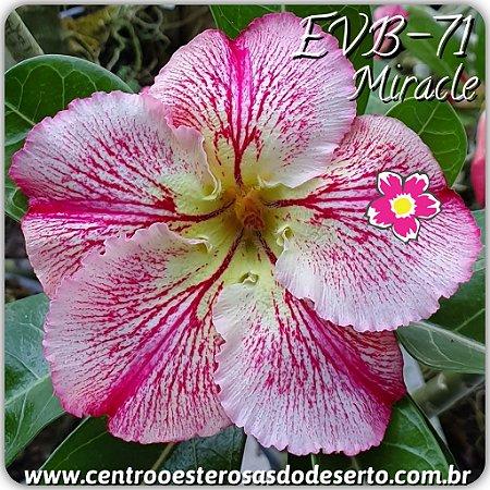 Muda de Enxerto - EVB-071 - Miracle - Flor Simples