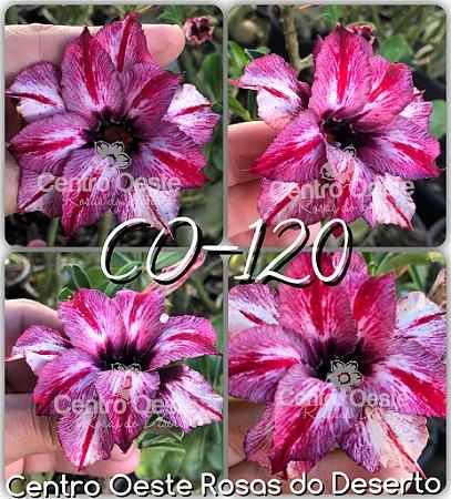 Muda de Enxerto - CO-120 - Flor Dobrada -  Cuia 21 (com 3 a 4 enxertos)