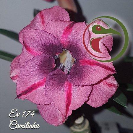 Muda de Enxerto - EV-174 - Camilinha - Flor Dobrada