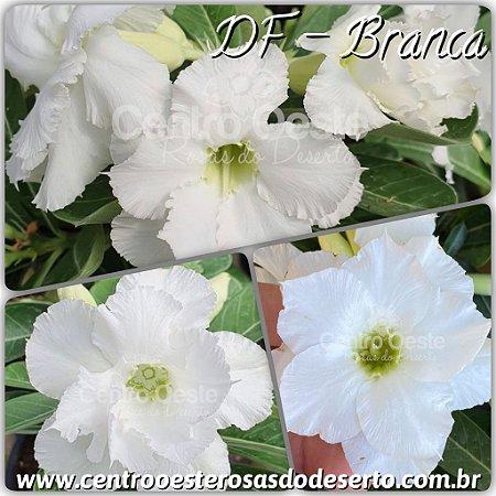 Rosa do Deserto Muda de Enxerto - DF Branca - Flor Dobrada - Cuia 21
