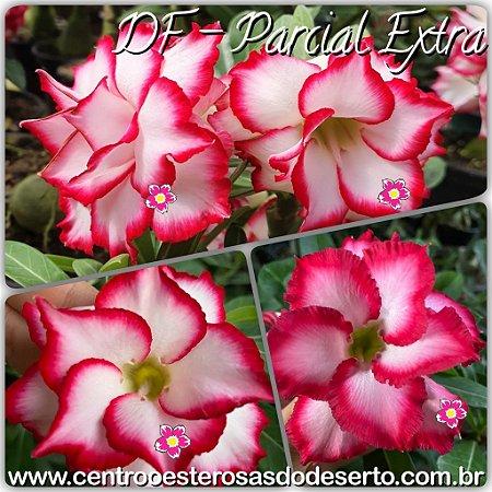 Rosa do Deserto Muda de Enxerto - DF Parcial Extra - Flor Dobrada - Cuia 21