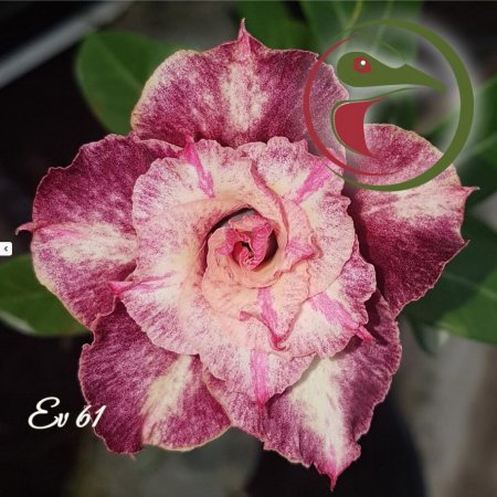 Rosa do Deserto Muda de Enxerto - EV-061 - Flor Dobrada