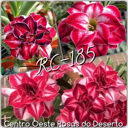 Muda de Enxerto - RC-185 - Black Amaryllis Flor Tripla IMPORTADA - Cuia 21 (3 enxertos)